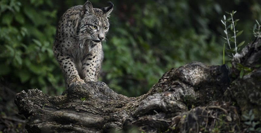 A highly endangered Iberian lynx (Lynx pardinus) taking a break at a scratching post out in the wild near Adamuz, Spain. With only 500 or so individuals living in the wild, the Iberian lynx is categorised as EN-endangered in the IUCN Red List. Conservation efforts helped the species from extinction in the 2000's when only around a 100 animals roamed the Iberian peninsula.